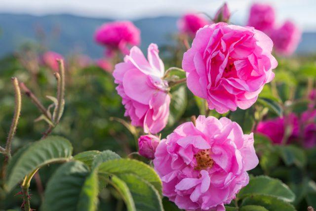 Extrait de Rose de Damas