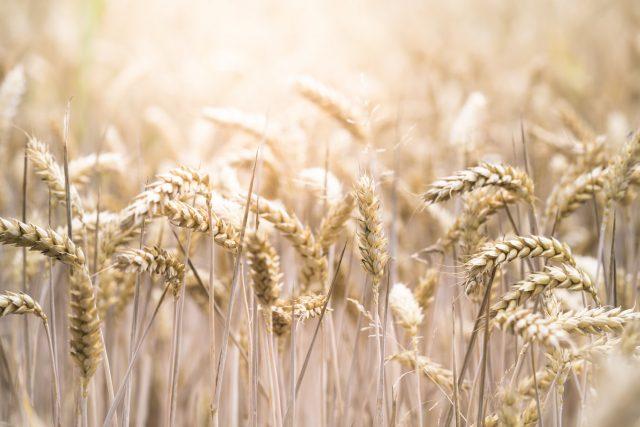 Céramides de blé
